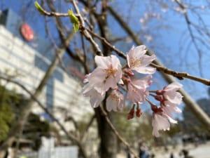 2020/3/23 桜